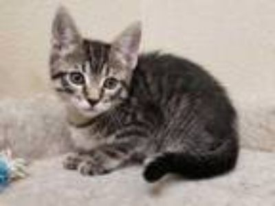 Adopt Bounce a Brown or Chocolate Domestic Shorthair / Domestic Shorthair /