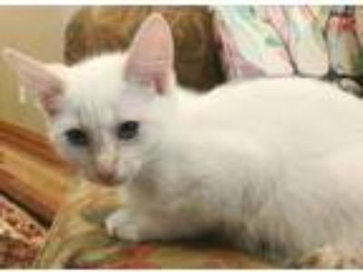 Adopt Olive a Domestic Short Hair, Siamese