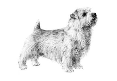 Norfolk Terrier Puppies