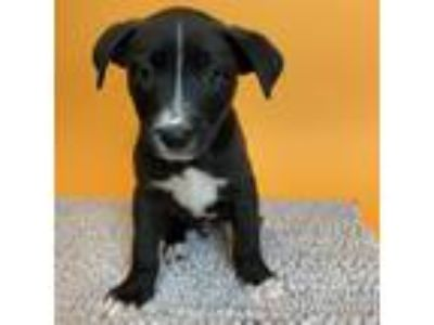 Adopt Shawn a Black Shepherd (Unknown Type) / Mixed dog in Palm Springs