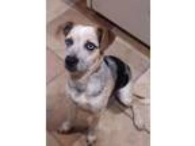 Adopt Deer a Australian Cattle Dog / Blue Heeler, Cattle Dog