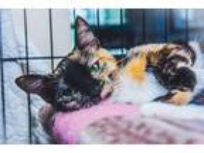 Adopt Carol a Spotted Tabby/Leopard Spotted Calico / Mixed cat in Bowmansville