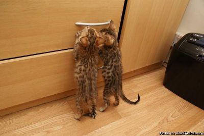 This is TICA Bengal Kitten