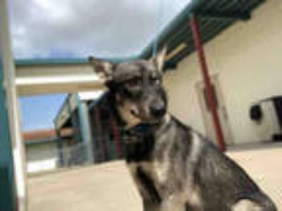 Adopt a Black - with White Husky / Mixed dog in Texas City, TX (25812467)