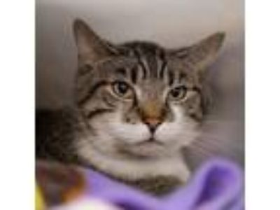 Adopt RANGER a Gray, Blue or Silver Tabby Domestic Shorthair / Mixed (short