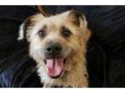 Adopt Bugle - 38 lbs! Low shedding! a Wirehaired Pointing Griffon
