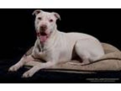 Adopt Prince a White American Pit Bull Terrier / Mixed dog in Stamford