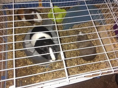 3 guinae pigs