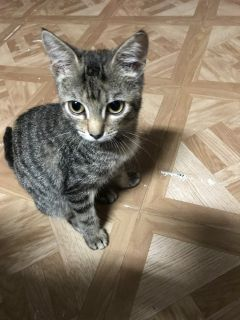 Free Wormed with shots and spayed female kitten