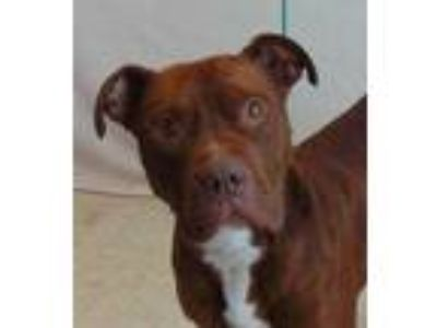 Adopt Amarillo (Regina)Cougar Canine a Brown/Chocolate American Pit Bull Terrier
