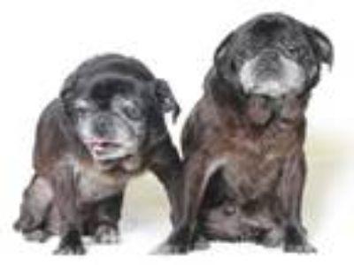 Adopt Filch a Pug / Mixed dog in Gardena, CA (21473596)