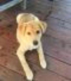Harry Yellow Labrador Retriever - Shiba Inu Dog