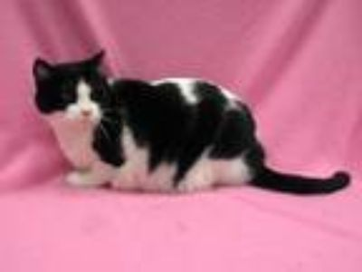 Adopt Rosie a Black & White or Tuxedo Domestic Shorthair (short coat) cat in