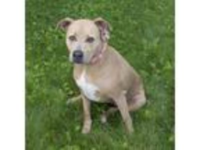Adopt Shine a Tan/Yellow/Fawn - with White Pit Bull Terrier / Mixed dog in Troy