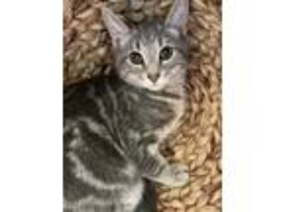 Adopt Cloud a Gray or Blue Domestic Shorthair / Domestic Shorthair / Mixed cat