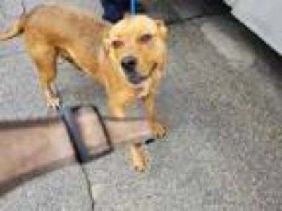 Adopt Lyiah a Brown/Chocolate American Pit Bull Terrier / Mixed dog in Fort