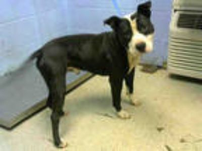 Adopt CATFISH a Black - with White American Pit Bull Terrier / Mixed dog in