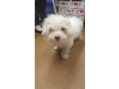 Adopt Xavier a White Bichon Frise / Poodle (Miniature) / Mixed dog in