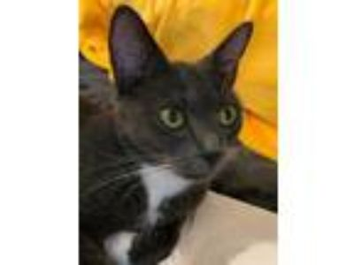 Adopt Colbolt a Gray or Blue Domestic Shorthair / Domestic Shorthair / Mixed cat