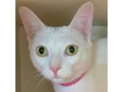 Adopt Rosie a White Domestic Shorthair / Mixed cat in Fairport, NY (25324226)