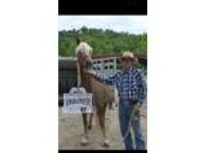 Adopt Athena Appalachian trainer faceoff 100 days of training a Quarterhorse