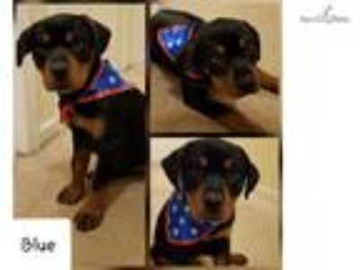 AKC Rottweiler Baby GIRL READY Today!