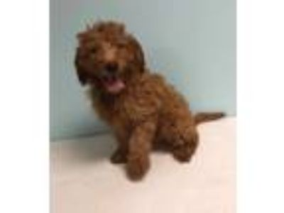Adopt Liam a Irish Setter / Poodle (Standard) dog in Manhattan, NY (25547350)