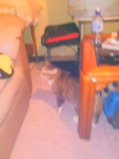 Pet: Cat