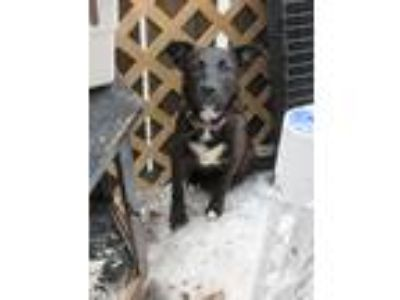 Adopt ALEXA a Brown/Chocolate - with Black German Shepherd Dog / Mixed dog in