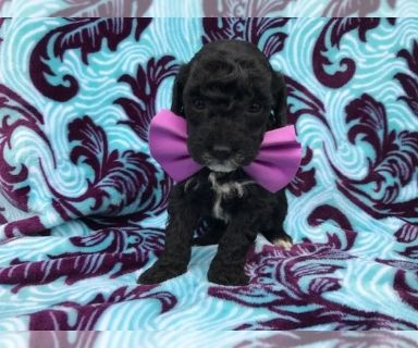 Poodle (Miniature) PUPPY FOR SALE ADN-130652 - Gigi the Miniature Poodle