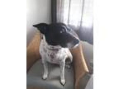 Adopt Hartley a Black - with White Fox Terrier (Smooth) / Dalmatian dog in Palm