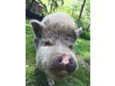 Adopt Cleveland a Pig (Potbellied) farm-type animal in Beachwood, OH (18192043)