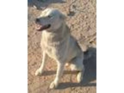 Adopt Suki a Husky / Siberian Husky / Mixed dog in Dana Point, CA (22210276)