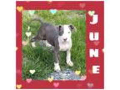 Adopt June a Pit Bull Terrier