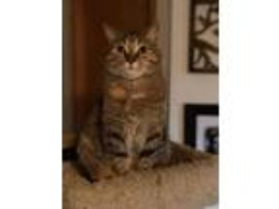 Adopt Milly a Brown Tabby Domestic Shorthair (short coat) cat in Morgantown