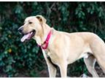 Adopt Champ a Tan/Yellow/Fawn Labrador Retriever / Mixed dog in Clovis