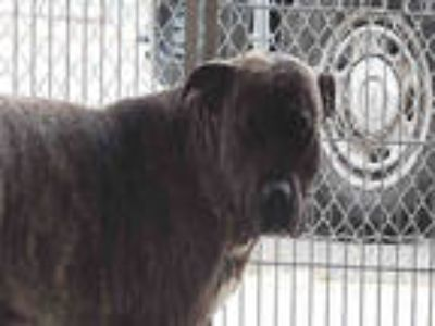Adopt BUFFALO BILL a Brindle American Pit Bull Terrier / Mixed dog in Downey