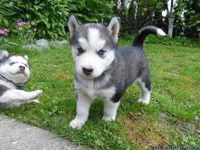 Male Siberian Husky puppy for sale