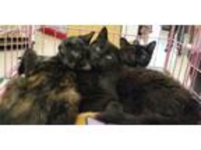 Adopt Warren Kittens a Tortoiseshell, Domestic Short Hair