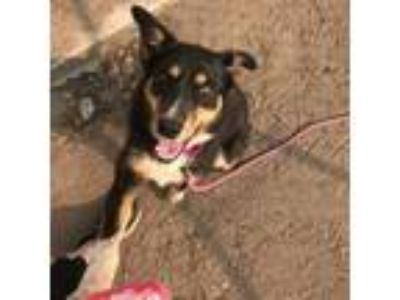 Adopt Brandie a Black Australian Shepherd / Border Collie dog in Wadena