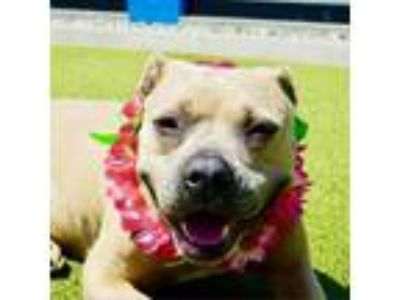 Adopt Delaney a Tan/Yellow/Fawn Boxer / Mixed Breed (Large) dog in Culver City