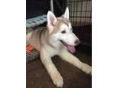 Adopt Loki a White Husky / Mixed dog in DeKalb, IL (25353685)