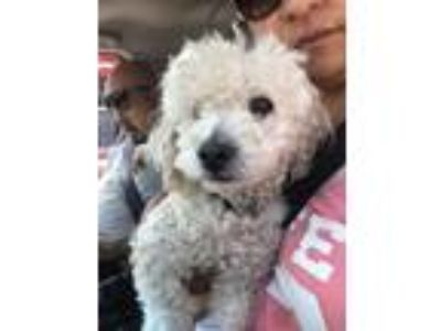 Adopt Frenchie a White Poodle (Standard) / Mixed dog in Rowland Heights