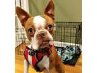 Adopt Available Echo Red a Red/Golden/Orange/Chestnut Boston Terrier / Mixed dog