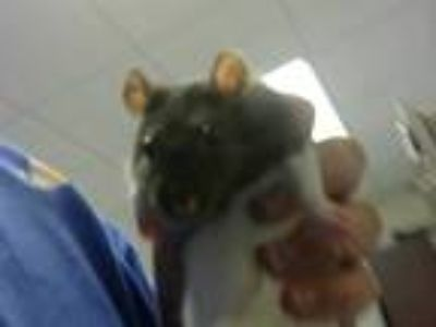 Adopt a Black Rat / Mixed small animal in Fayetteville, NC (25557764)