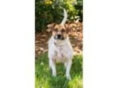 Adopt Wendy a Tan/Yellow/Fawn - with White Jack Russell Terrier / Mixed dog in