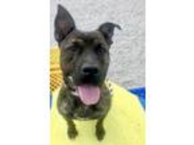 Adopt King Louie a Black American Pit Bull Terrier / Mixed dog in Philadelphia