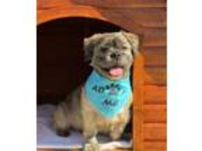 Adopt DAVEY a Shih Tzu, Mixed Breed