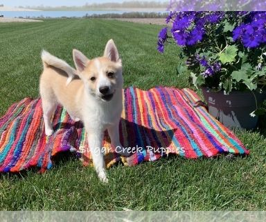 Pomsky PUPPY FOR SALE ADN-128284 - Gage Male Pomsky Puppy   pricing negotiable