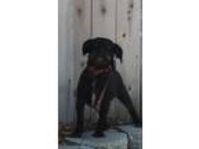 Adopt BUDDY the trickster a Black - with Gray or Silver Standard Schnauzer /